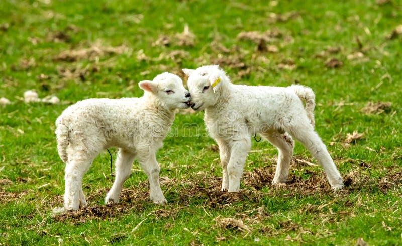 Agnelli, agnelli gemellati nella primavera che fruga insieme fotografia stock libera da diritti