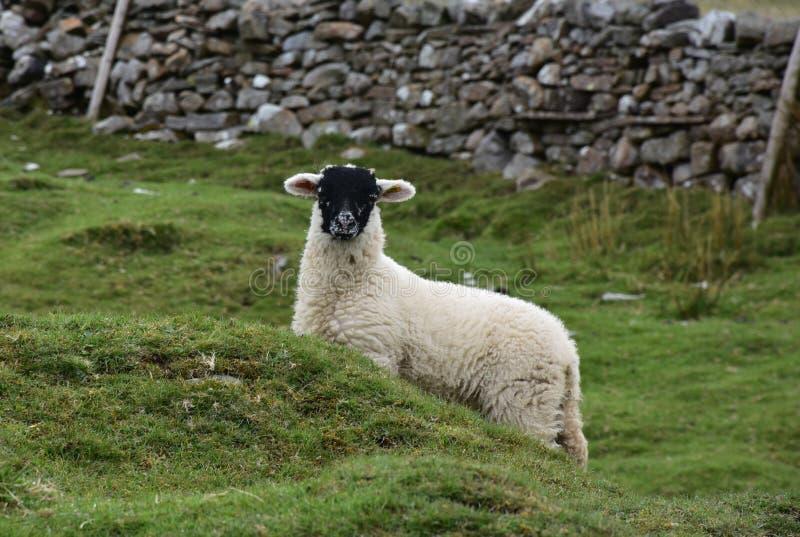 Agnello bianco affrontato nero molto sveglio nelle vallate di Yorkshire fotografia stock libera da diritti