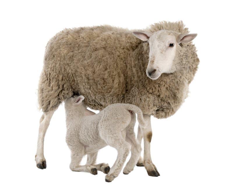 Agnello che allatta la sua madre (una pecora) fotografia stock libera da diritti