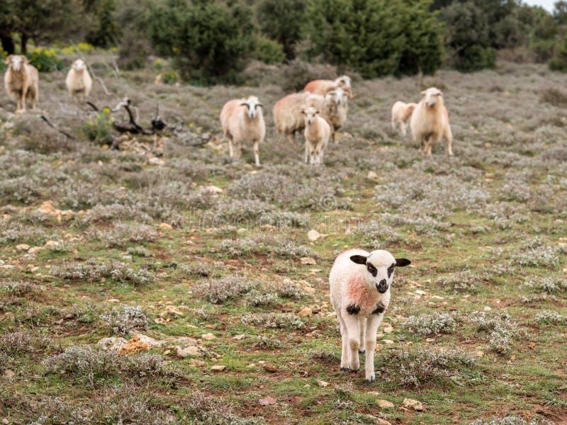Agnello da latte e un gruppo di pecore che stanno su un pascolo immagine stock