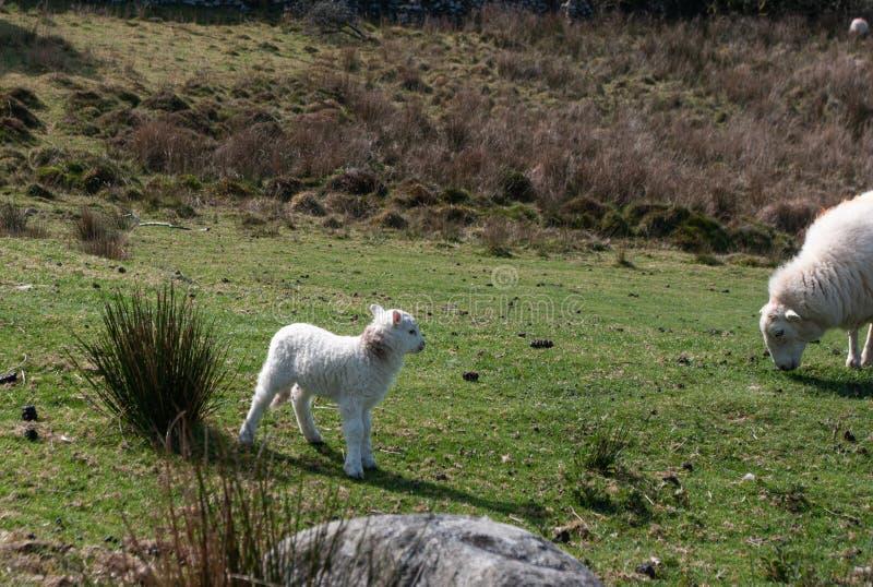 Agnello e pecora della montagna di Lingua gallese fotografia stock