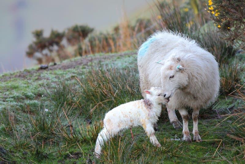 Agnello e pecore fotografia stock