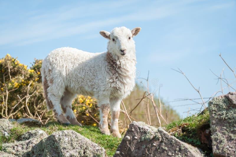 Agnello nella primavera immagine stock libera da diritti