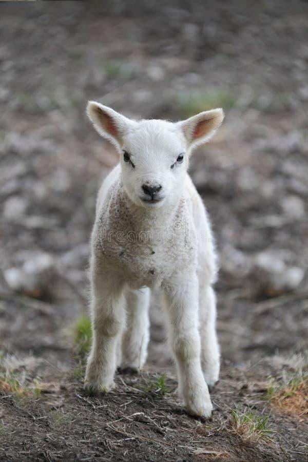 Agnello neonato fotografia stock libera da diritti