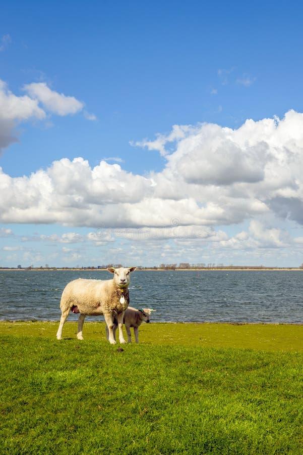 Agnello neonato che sta nella tonalità delle sue pecore della madre fotografia stock