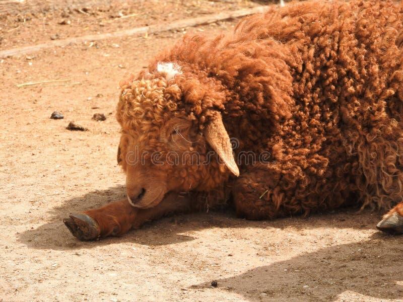 Agnello neonato giovane Irlanda felice nell'agnello verde delle pecore del campo immagine stock libera da diritti