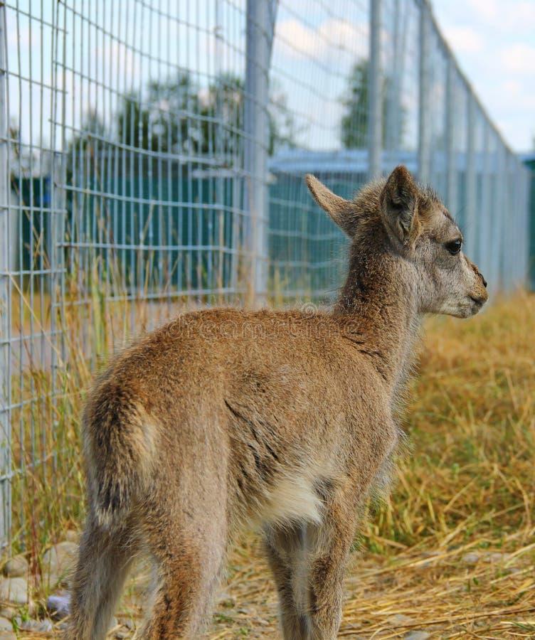 agnello, pecora del blu di bambino immagine stock libera da diritti