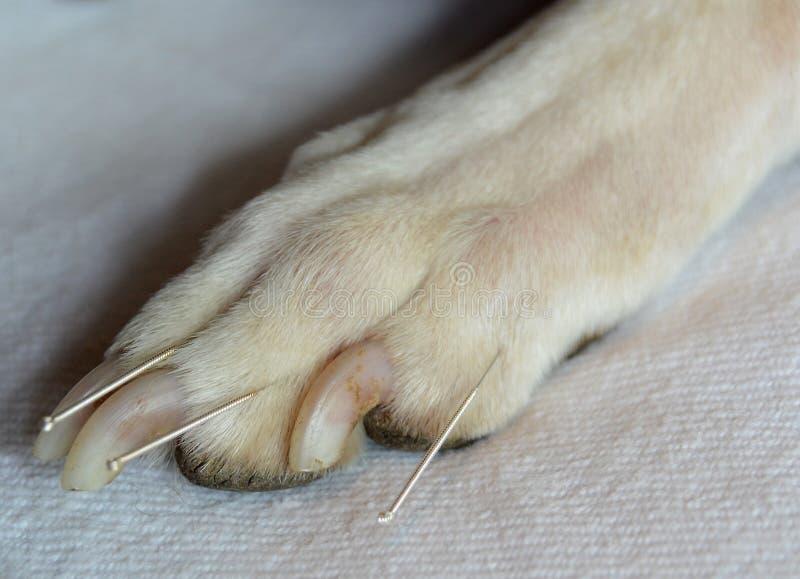 Agopuntura del cane fotografie stock libere da diritti