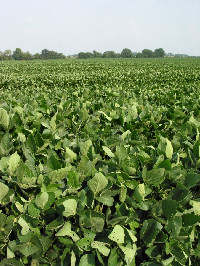 Agosto Beans-054 Foto de Stock Royalty Free