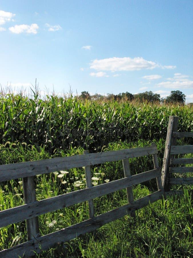 Agosto Corn-1180 imagens de stock