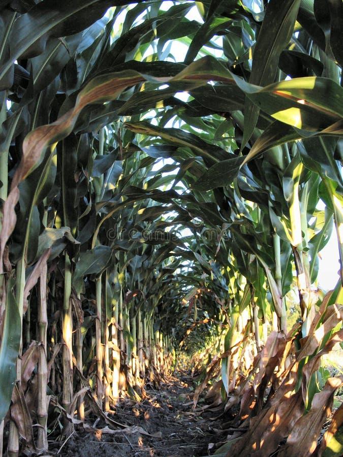Agosto Corn-1224 imagens de stock royalty free