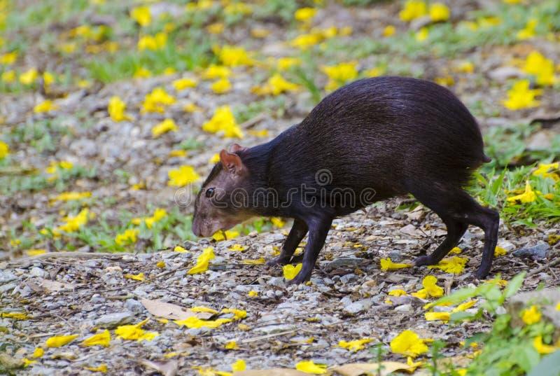 Agouti που τρώει τα λουλούδια Poui στοκ εικόνες