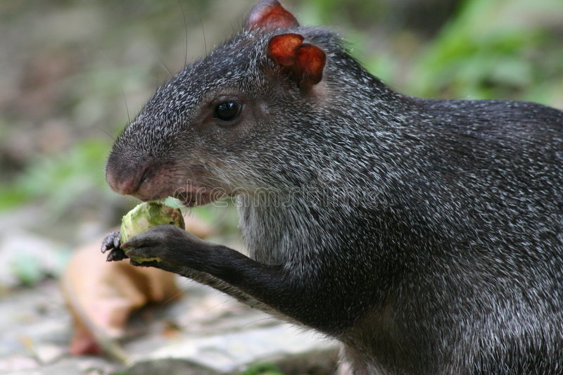 Agouti photographie stock