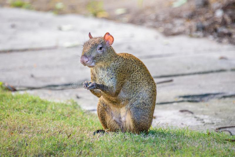 Agouti agoutis or Sereque rodent sitting on the grass holding some food in paws. Rodents of the Caribbean. stock images