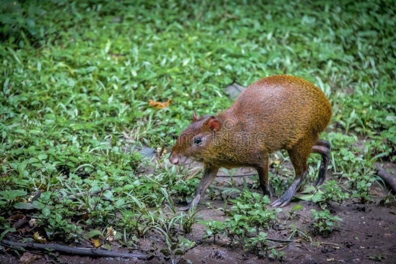 Agouti - Copan, Honduras. Agouti in grass - Copan, Honduras stock image