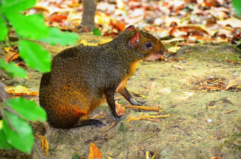 Agouti - Giant Rodent royalty free stock photography