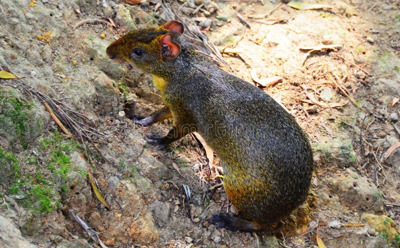 Agouti - Giant Rodent royalty free stock photos