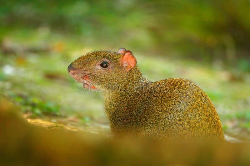 Agouti i vändkretsskogdjuret i naturlivsmiljön, grön djungel Stor lös mus i grön vegetation Gullig agouti, grönt gräs royaltyfri bild
