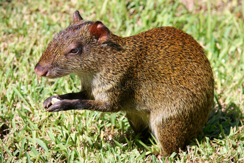Agouti mexicain photo stock