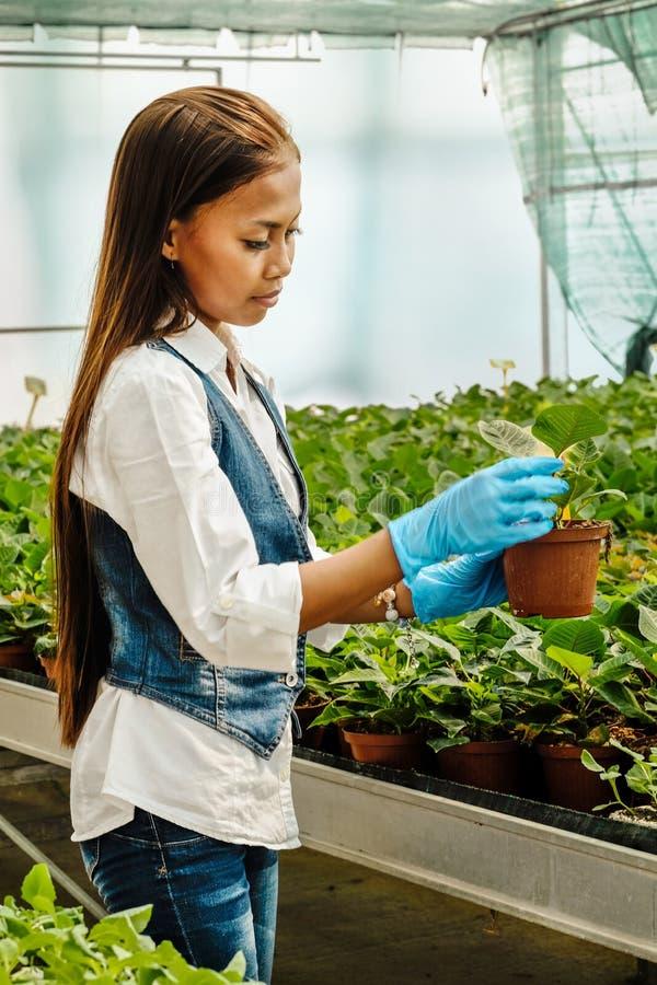 Agrónomo bastante asiático de la mujer de los jóvenes con la tableta que trabaja en el invernadero que examina las plantas imágenes de archivo libres de regalías
