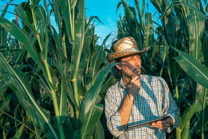 Agrónomo del granjero con la tableta en campo de la cosecha del maíz imágenes de archivo libres de regalías