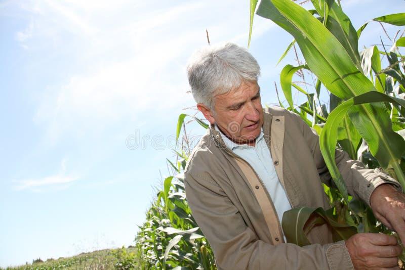 Agrónomo que analisa a planta de milho fotografia de stock royalty free