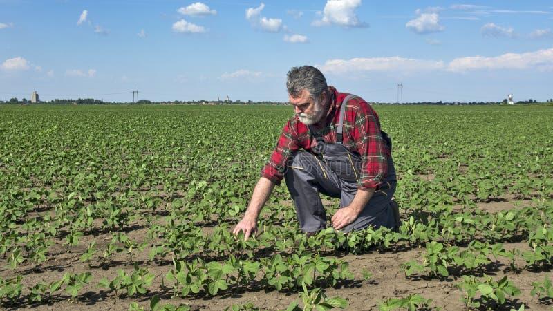 Agrônomo no campo da soja imagens de stock