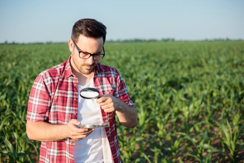 Agrônomo ou fazendeiro novo sério que analisam amostras do solo em uma exploração agrícola do milho imagem de stock