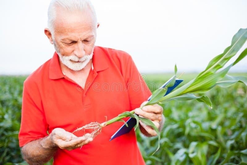 Agrônomo ou fazendeiro superior de cabelo cinzento sério em raizes de exame da planta de milho da camisa vermelha fotografia de stock royalty free