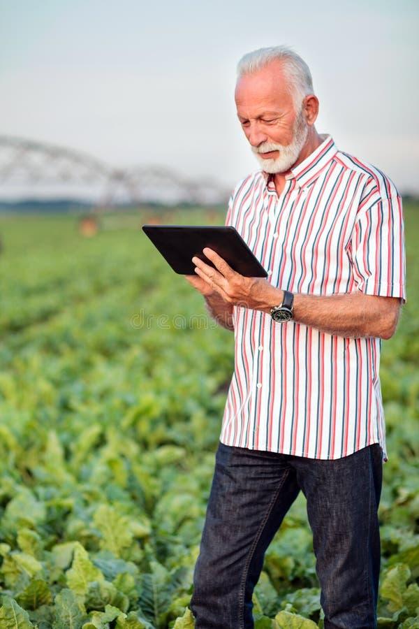 Agrônomo ou fazendeiro superior feliz e satisfeito que usa uma tabuleta no campo do feijão de soja imagens de stock royalty free