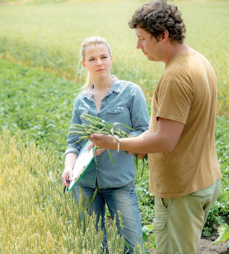 Agrônomo que olha a qualidade do trigo com o fazendeiro no campo com cr fotos de stock royalty free