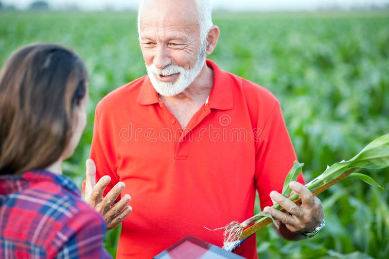 Agrônomo superior que fala a seu colega fêmea novo em um campo de milho imagens de stock