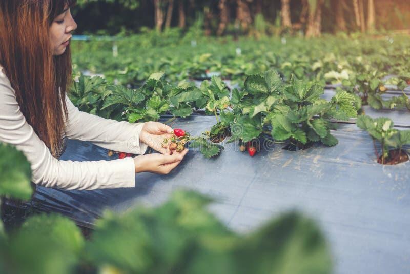 Agrônomo Woman que usa Smartphone que verifica a morango na exploração agrícola orgânica da morango fotografia de stock