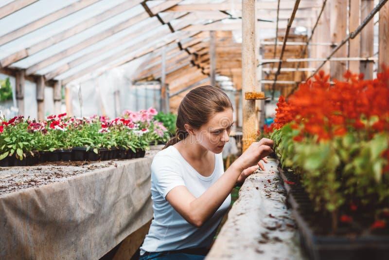 Agr?nomo da jovem mulher que inspeciona plantas na estufa imagem de stock royalty free