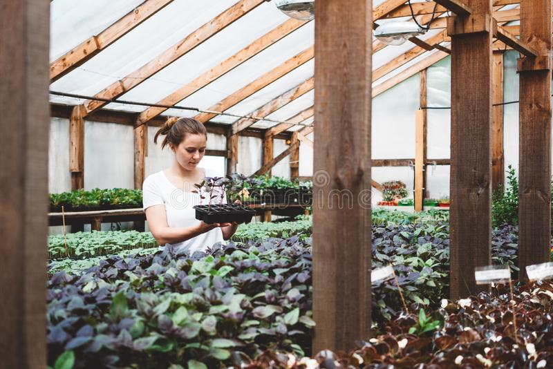 Agr?nomo da jovem mulher que inspeciona plantas na estufa fotografia de stock