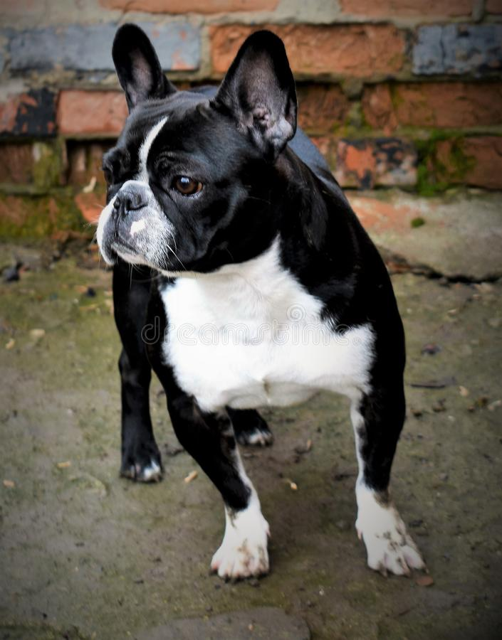 Agradável brincalhão do cão fiel do buldogue francês fotografia de stock