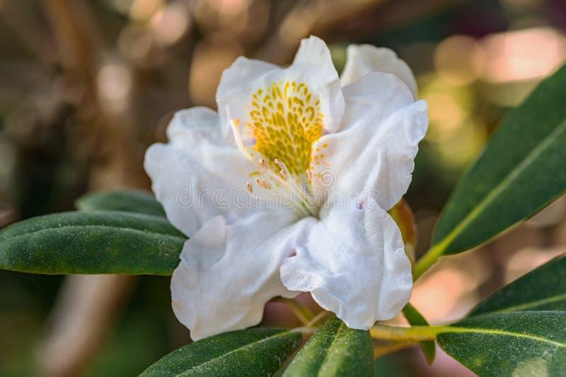 Agrandado cerca para arriba de una sola flor blanca del rododendro fotos de archivo libres de regalías