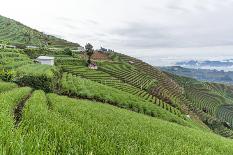 Agrapura onion plantations, Indonesia. Agrapura onion plantations beautiful scene in day light, Indonesia stock image
