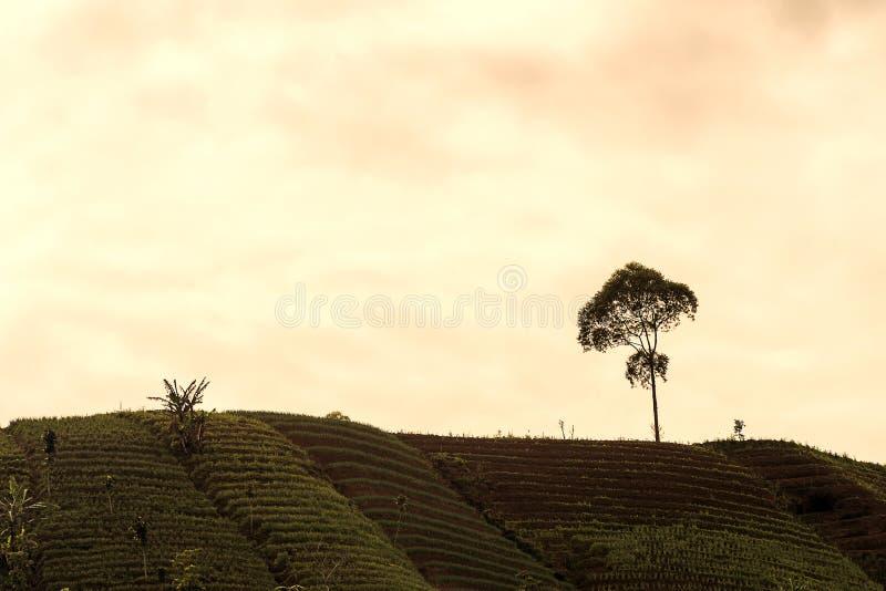 Agrapura onion plantations, Indonesia. Agrapura onion plantations beautiful scene in day light, Indonesia stock photo