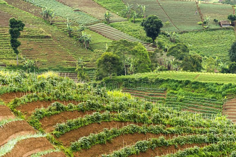 Agrapura onion plantations, Indonesia. Agrapura onion plantations beautiful scene in day light, Indonesia stock photography