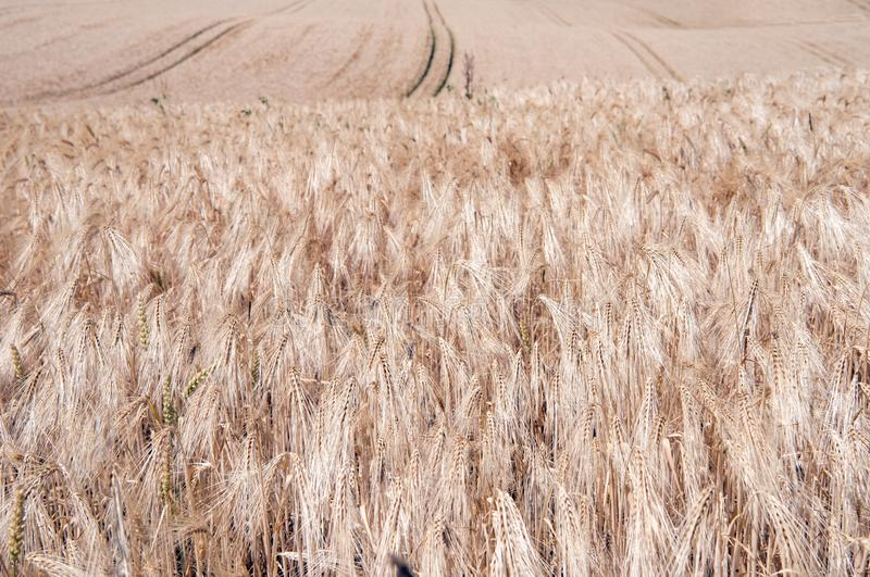 Wheat ripe for harvest on rolling fields in summer royalty free stock images