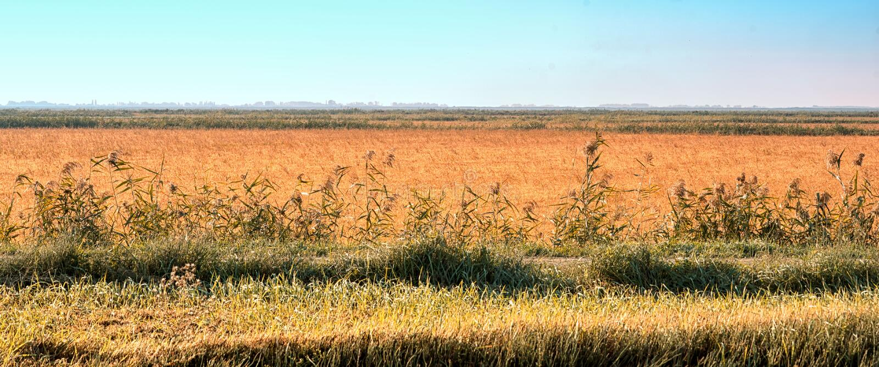 Agrarisch landschap met gebied en gele tarwe stock afbeeldingen