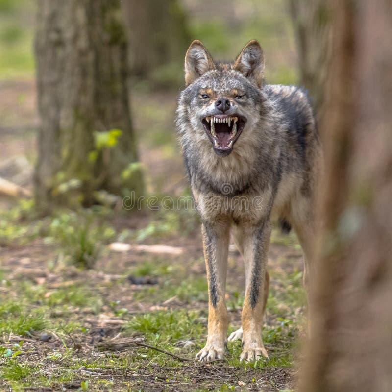 Agressief Europees grijs Wolfs vierkant formaat stock foto's