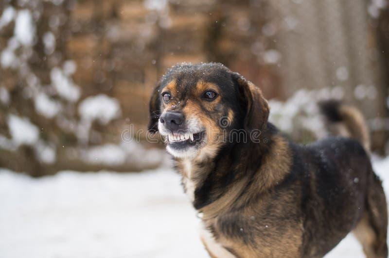 Agressieve, boze hond royalty-vrije stock afbeeldingen