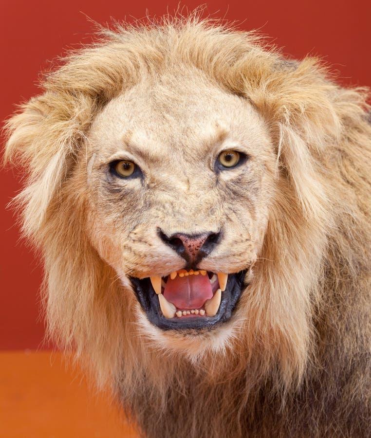 Agressieve uitdrukking van gevulde leeuw met rode bac stock foto's