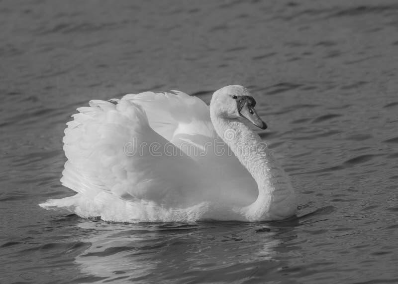 Agressive Swan black and white stock photos
