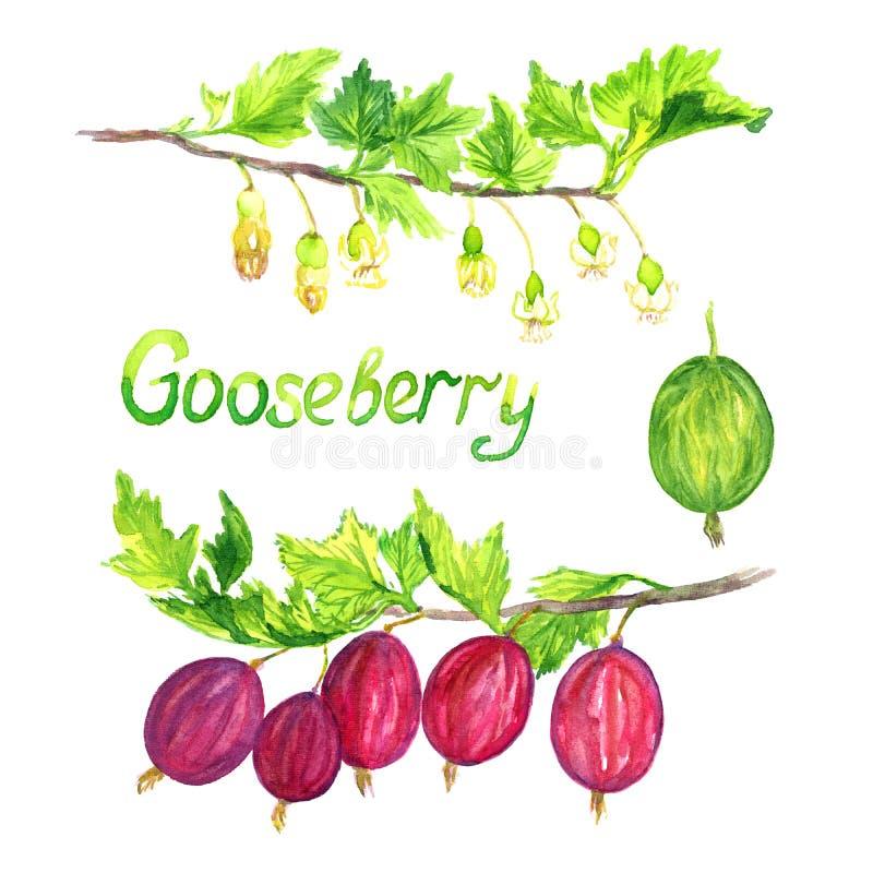 Agresta gałęziasty kwitnienie z dojrzałymi jagodami i ilustracji