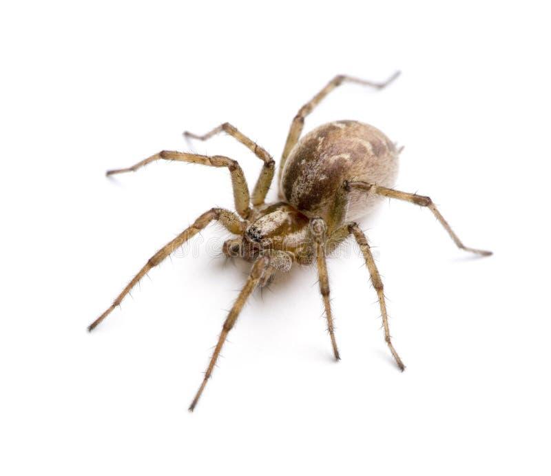 Agrestis de Tegenaria d'araignée de tisserand d'entonnoir de grange images stock