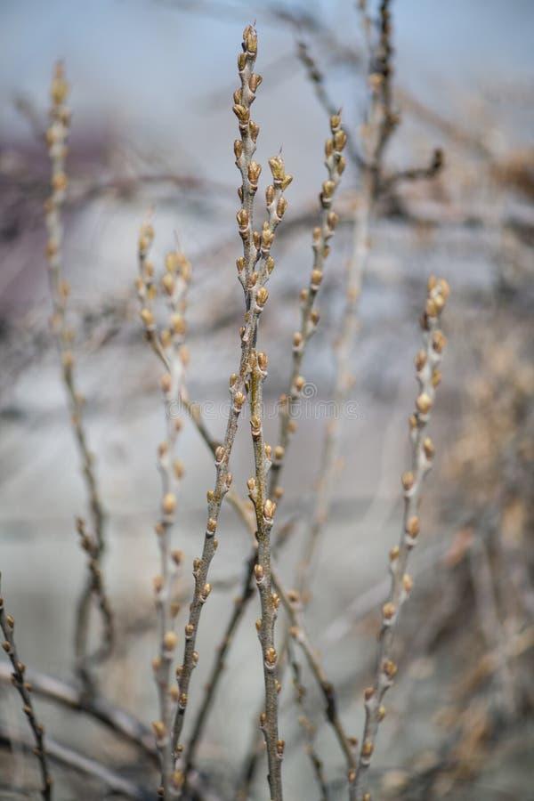 Agrestowy Bush z niezakłóconymi liśćmi w wczesnej wiośnie Nagie gałąź agrest obraz stock