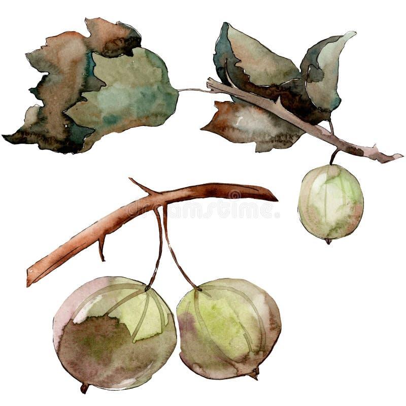 Agrestowy zdrowy jedzenie w akwarela stylu odizolowywającym Watercolour t?a set Odosobniony jagodowy ilustracyjny element ilustracja wektor